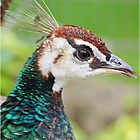 Beautiful Peacock  by Mounty
