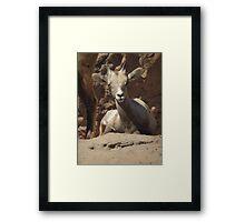 Bighorn Sheep Lamb Framed Print