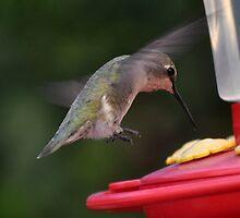HUMMINGBIRD ANNA'S FLAPS UP by JAYMILO
