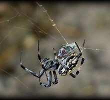 ...said the Spider to the Fly by Kimberly Chadwick