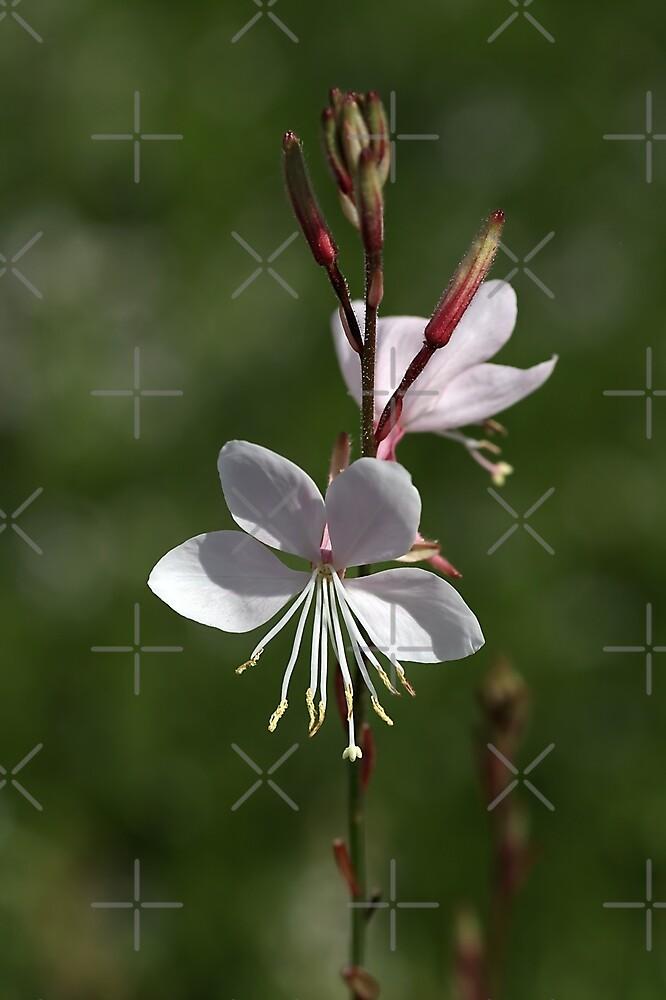Gaura Flowers by Joy Watson