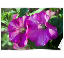 Two pretty summer pink purple petunia flowers picture.  Poster
