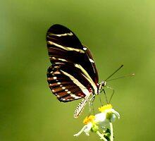 ZEBRA LONGWING BUTTERFLY by TomBaumker