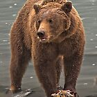 Grizzly Bear on the Chilkoot River by Yukondick