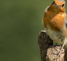 Robin posing on branch Sticker