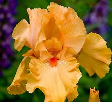 The Yellow Iris At Schriners by Thom Zehrfeld