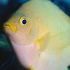 Golden Damsel, Great Barrier Reef off Cooktown, Australia by Erik Schlogl