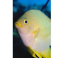 Golden Damsel, Great Barrier Reef off Cooktown, Australia Photographic Print