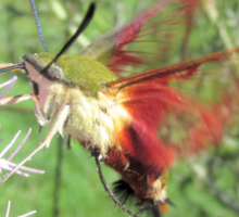 Hummingbird Moth Sticker