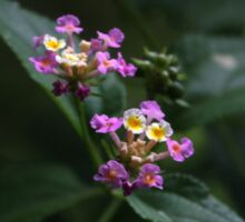 Lantana sp. Sticker