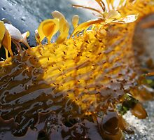 Frilly seaweed - 2011 by Gwenn Seemel