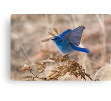 Bluebird with lifted wings Canvas Print