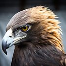 Golden Eagle by amanda reed