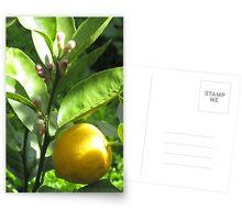 Lemon with blossom Postcards