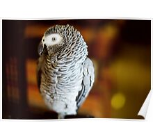 Congo African grey parrot also named jaco Poster