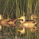 Ducks by Kay Reynolds