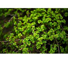 Branch with Fresh Green Leaves Close-Up Photographic Print