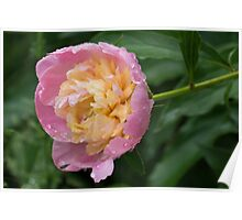 Petals and Drops - Soft Pink Peony Poster