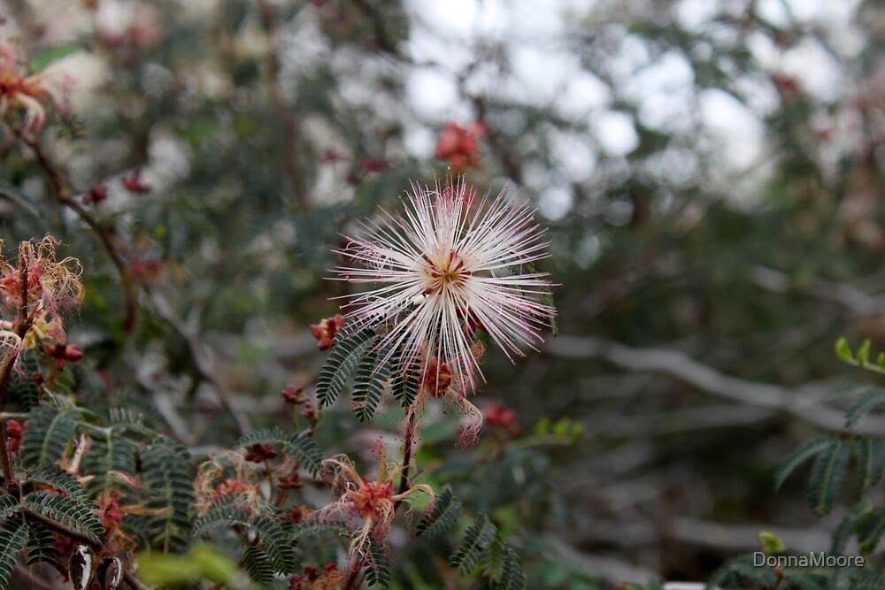 Fairy Duster in white with pink edges..... by DonnaMoore