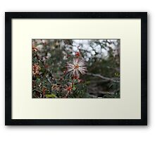 Fairy Duster in white with pink edges..... Framed Print