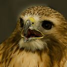 Noisy American Red Tailed Hawk  by jacqi