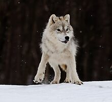 Arctic Wolf by WolvesOnly