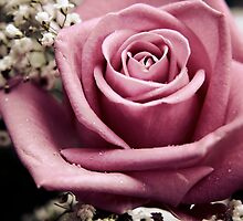 Vintage Pink Rose by Vicki Field