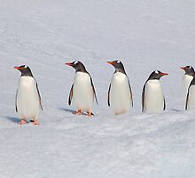 Gentoo Penguins in Conference by Carole-Anne
