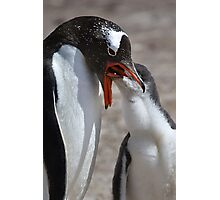 Gentoo Chick Feeding Photographic Print