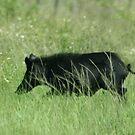 WILD BOAR by TomBaumker