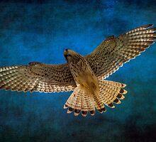 Kestrel in flight  by chris2766