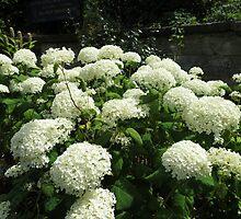 Snowballs in Summer - Sunlit White Hydrangeas by Kathryn Jones