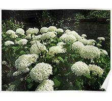 Snowballs in Summer - Sunlit White Hydrangeas Poster