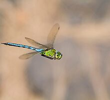 Emperor dragonfly  (Anax imperator) by chris2766
