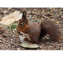 Red Squirrel  (Sciurus vulgaris) Photographic Print