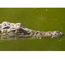 Alligator (Alligator Mississippiensis) Photographic Print