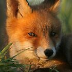 Portrait of young Red Fox by Remo Savisaar