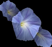 Morning Glory Illusion on Black by Judi FitzPatrick