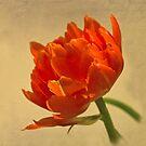 Orange Tulip by jacqi