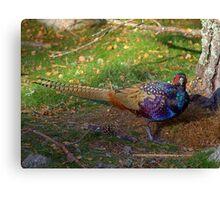 The Colourful Pheasant Canvas Print