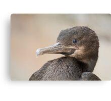 Cape Cormorant  Canvas Print