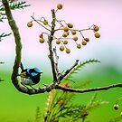 Fairy Wren #1 by bekyimage