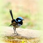 Fairy Wren #2 by bekyimage