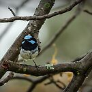 Fairy Wren #6 by bekyimage