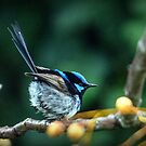 Fairy Wren #7 by bekyimage