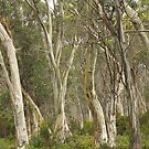 Eucalyptus at Lake St Clair , Tasmania by phillip wise