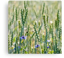 Cornflowers in a wheat field Canvas Print