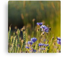 Cornflowers and common wheat Canvas Print