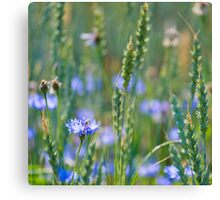 Cornflower and wheat field Canvas Print