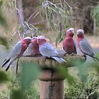 Galah's in the Garden. by Larry Lingard-Davis